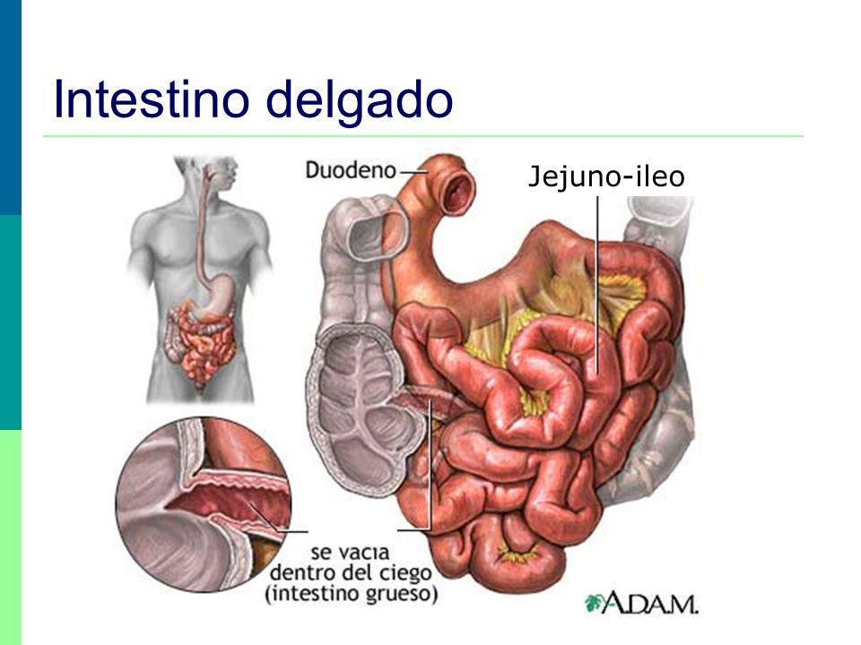 Intestino delgado Jejuno-ileo