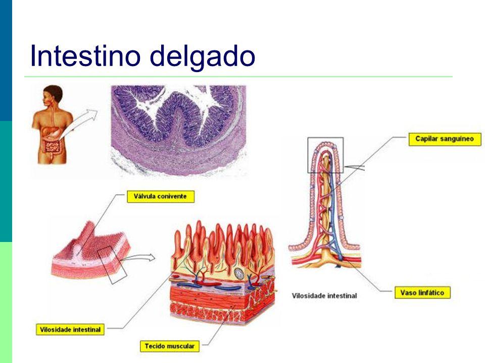 Intestino delgado Prof. Teresa Condeixa 0809
