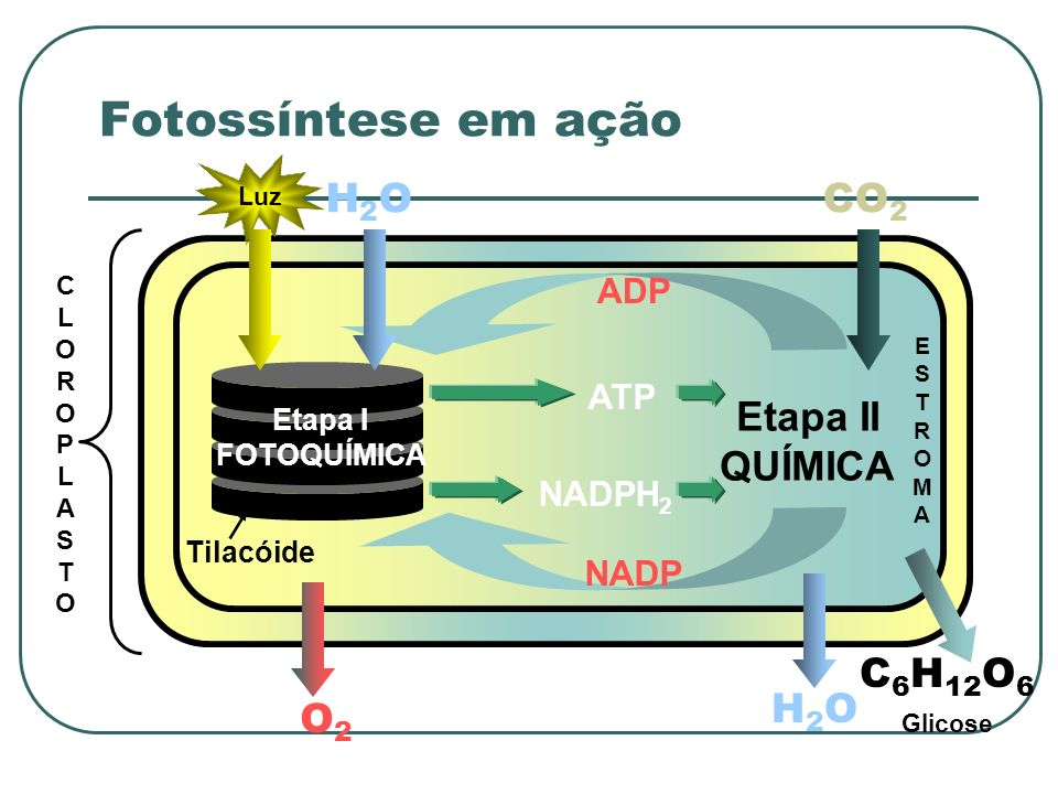 Fotossíntese em ação H2O CO2 H2O C6H12O6 O2 Etapa II QUÍMICA ADP ATP