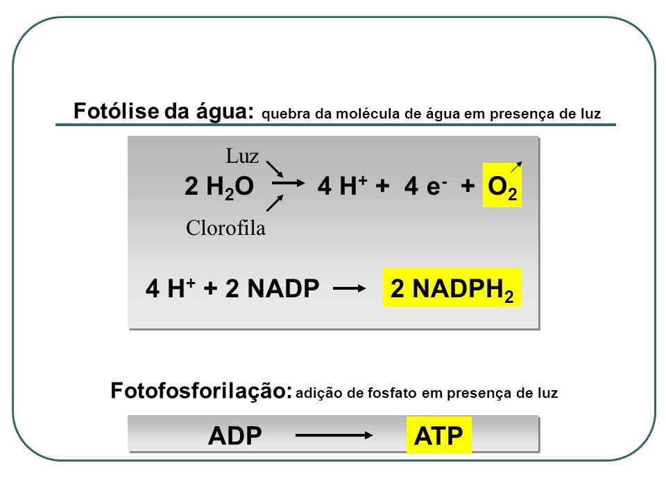O2 2 H2O 4 H+ + 4 e- + 4 H+ + 2 NADP 2 NADPH2 ADP ATP
