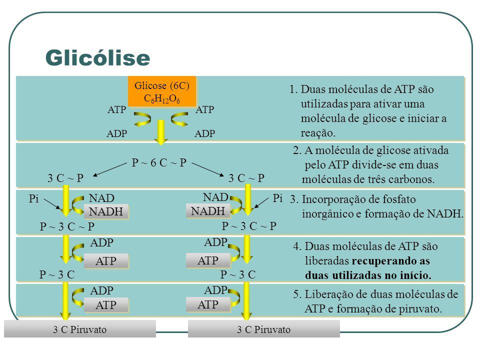 Glicólise 1. Duas moléculas de ATP são utilizadas para ativar uma