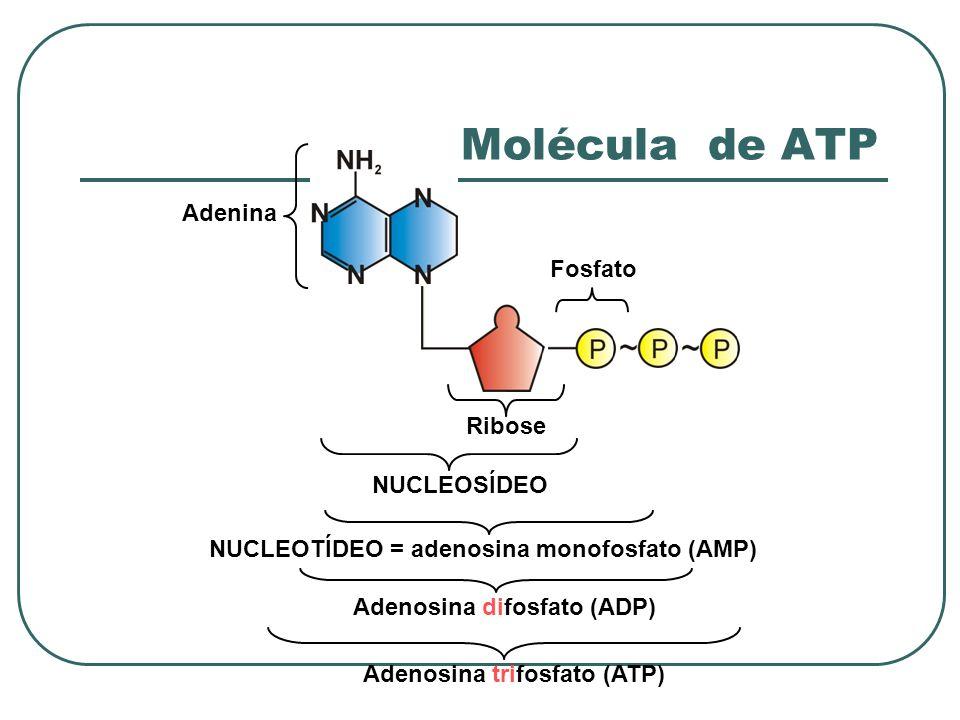 Molécula de ATP Adenina Fosfato Ribose NUCLEOSÍDEO