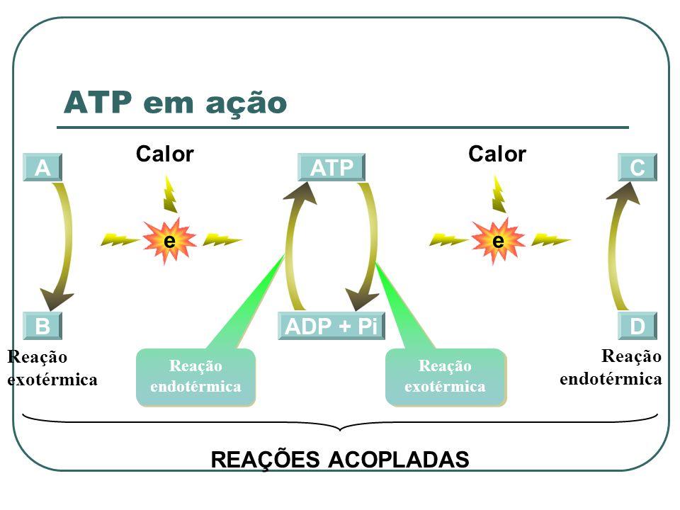 ATP em ação e Calor e Calor A ADP + Pi ATP C B D REAÇÕES ACOPLADAS