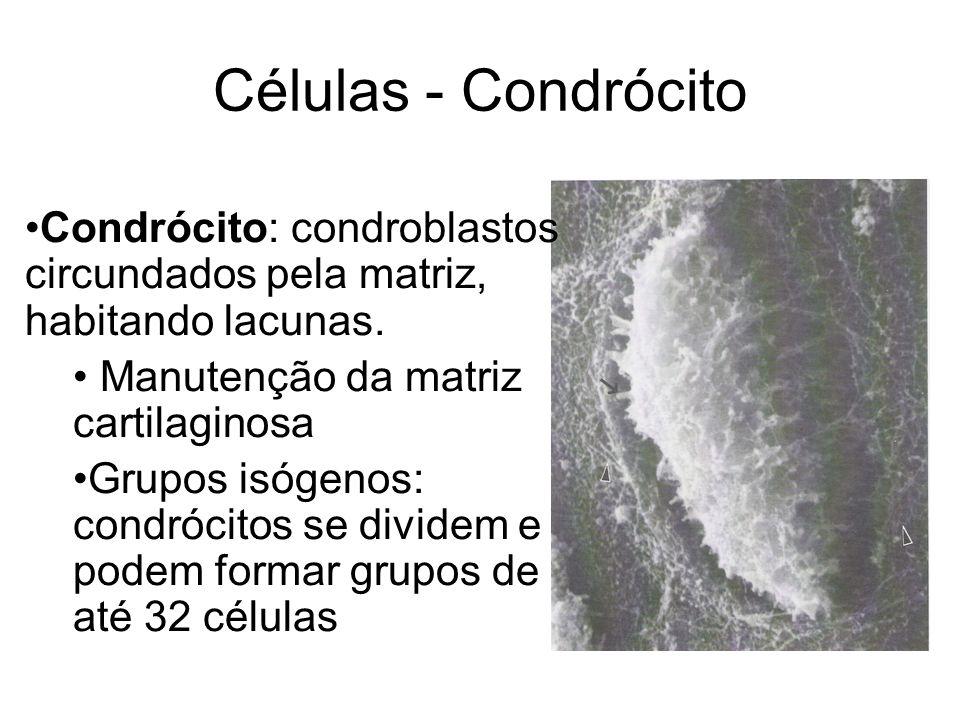 Células - CondrócitoCondrócito: condroblastos circundados pela matriz, habitando lacunas. Manutenção da matriz cartilaginosa.