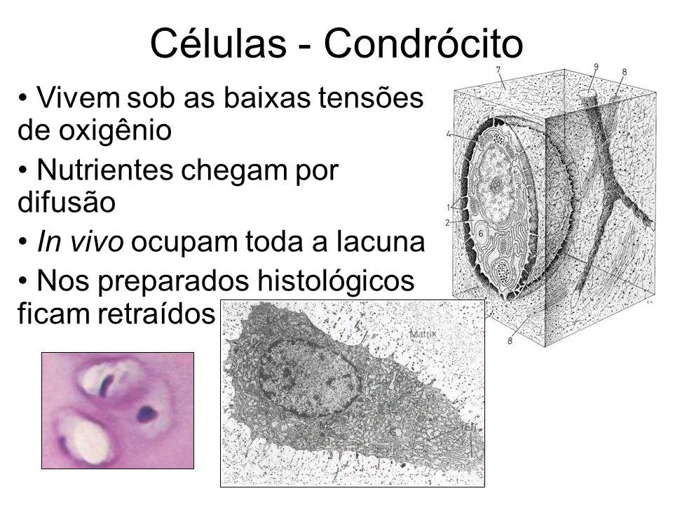 Células - Condrócito Vivem sob as baixas tensões de oxigênio