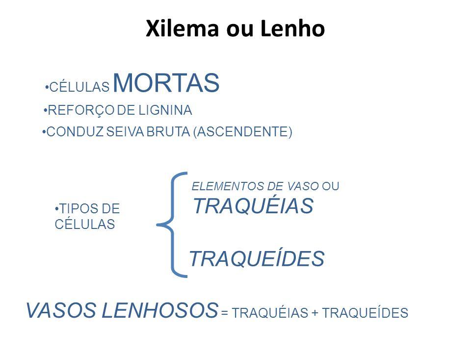 Xilema ou Lenho TRAQUEÍDES VASOS LENHOSOS = TRAQUÉIAS + TRAQUEÍDES