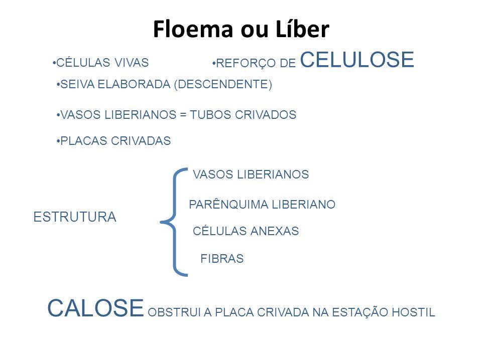 Floema ou Líber CALOSE OBSTRUI A PLACA CRIVADA NA ESTAÇÃO HOSTIL