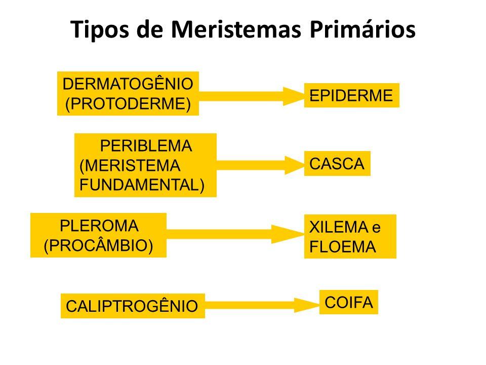 Tipos de Meristemas Primários
