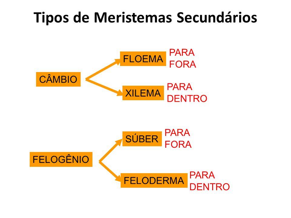Tipos de Meristemas Secundários