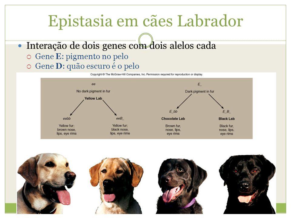Epistasia em cães Labrador