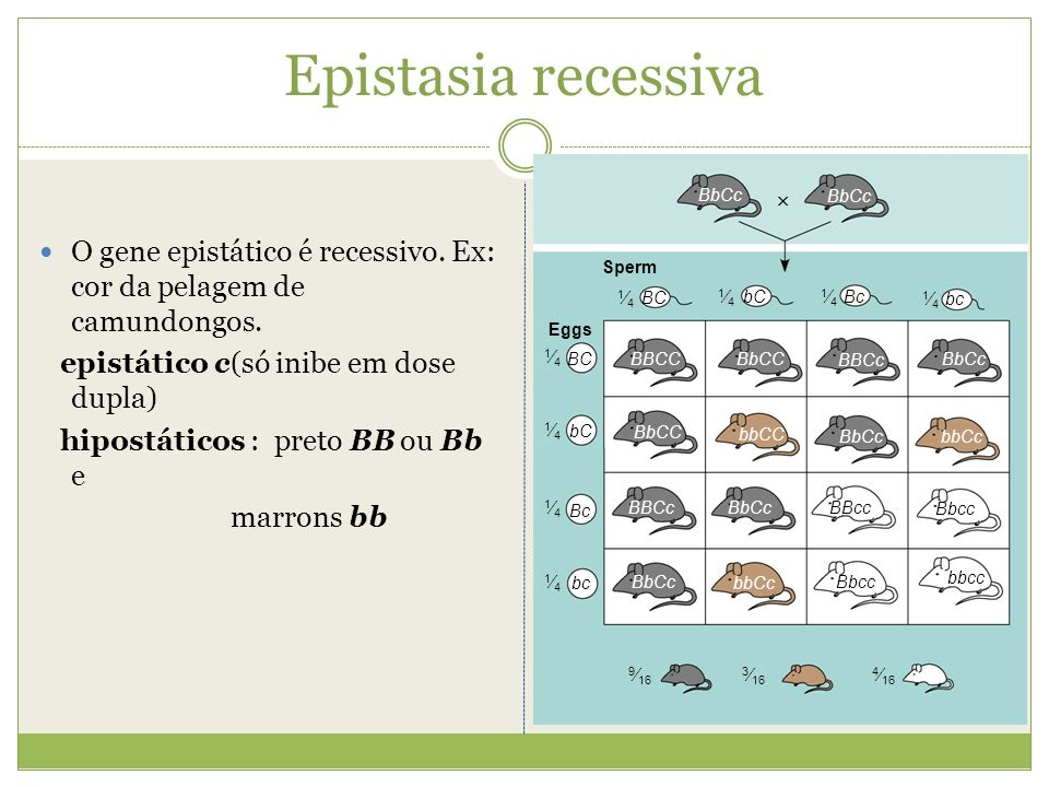 Epistasia recessiva BC. bC. Bc. bc. 1⁄4. BBCc. BbCc. BBcc. Bbcc. bbcc. bbCc. BbCC. bbCC.