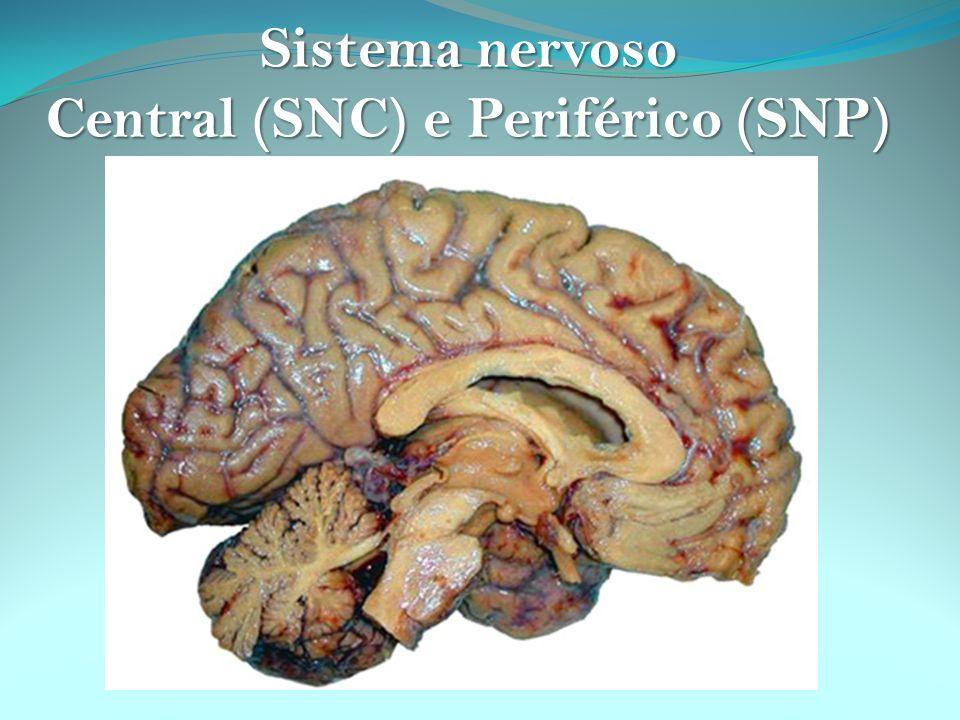 Central (SNC) e Periférico (SNP)