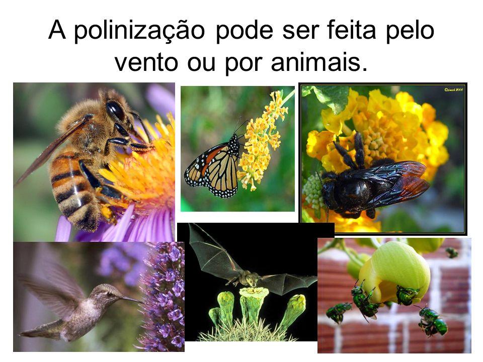A polinização pode ser feita pelo vento ou por animais.