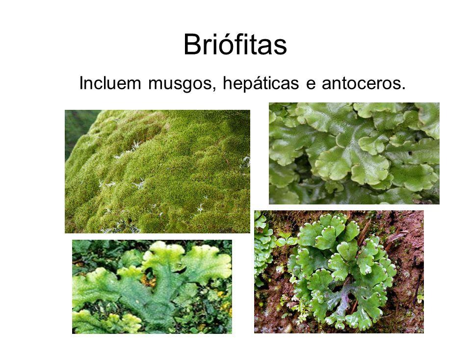 Incluem musgos, hepáticas e antoceros.