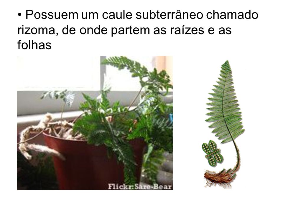 Possuem um caule subterrâneo chamado rizoma, de onde partem as raízes e as folhas