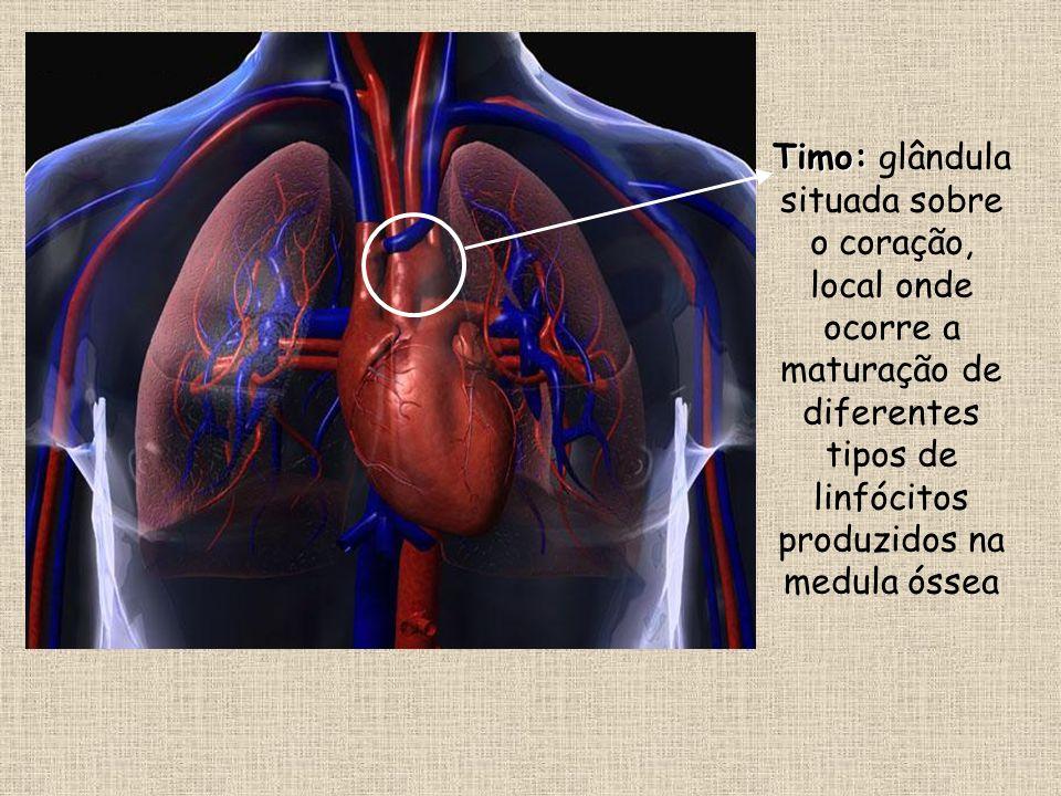 Timo: glândula situada sobre o coração, local onde ocorre a maturação de diferentes tipos de linfócitos produzidos na medula óssea