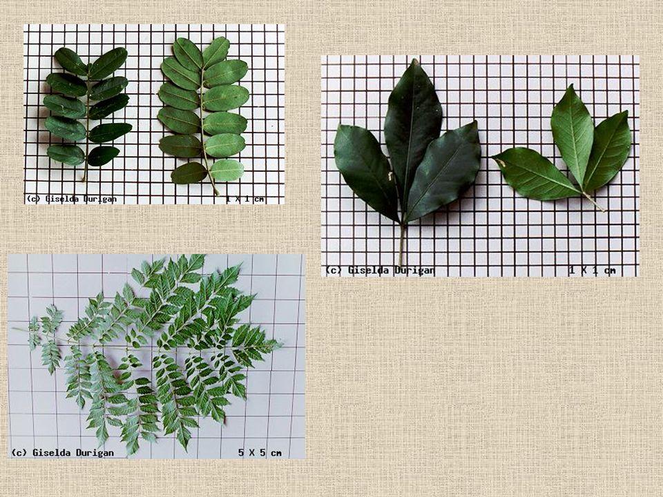 Exemplos de folhas compostas