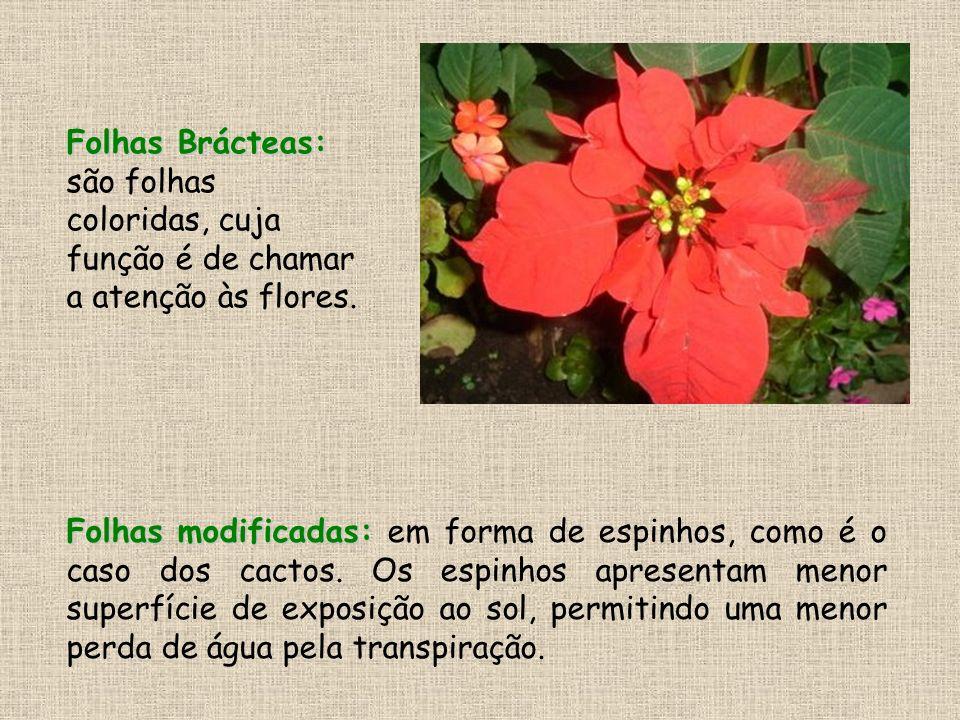 Folhas Brácteas: são folhas coloridas, cuja função é de chamar a atenção às flores.