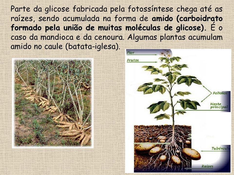 Parte da glicose fabricada pela fotossíntese chega até as raízes, sendo acumulada na forma de amido (carboidrato formado pela união de muitas moléculas de glicose).