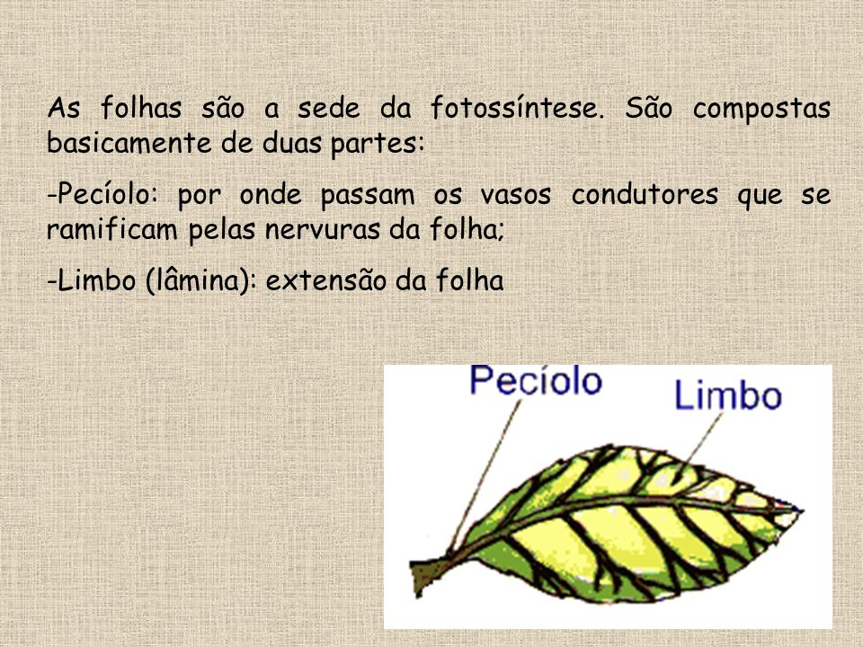 As folhas são a sede da fotossíntese