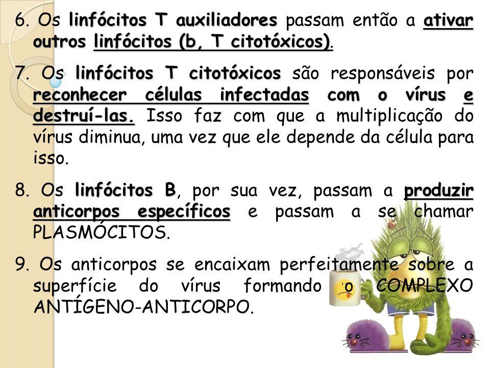 6. Os linfócitos T auxiliadores passam então a ativar outros linfócitos (b, T citotóxicos).