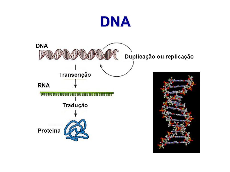 DNA Duplicação ou replicação Transcrição Tradução DNA RNA Proteína