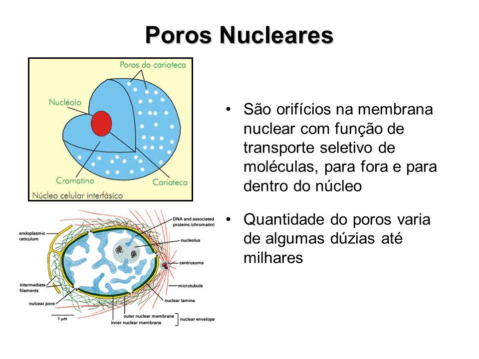 Poros NuclearesSão orifícios na membrana nuclear com função de transporte seletivo de moléculas, para fora e para dentro do núcleo.
