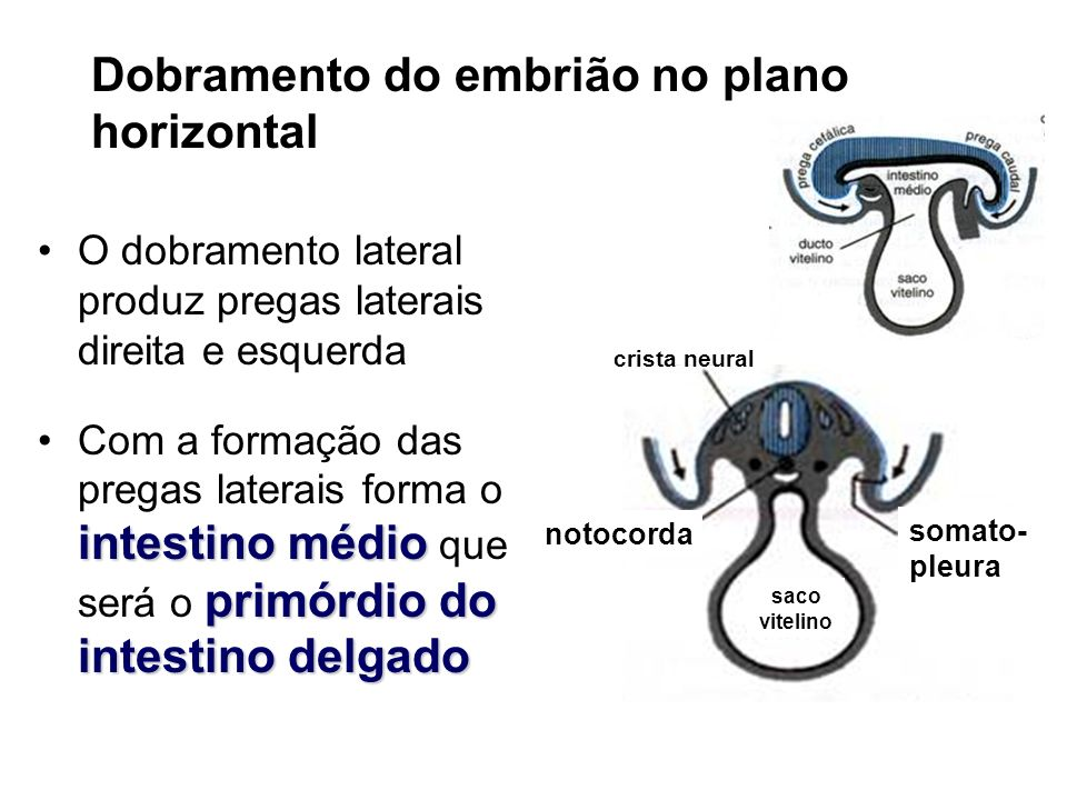 Dobramento do embrião no plano horizontal