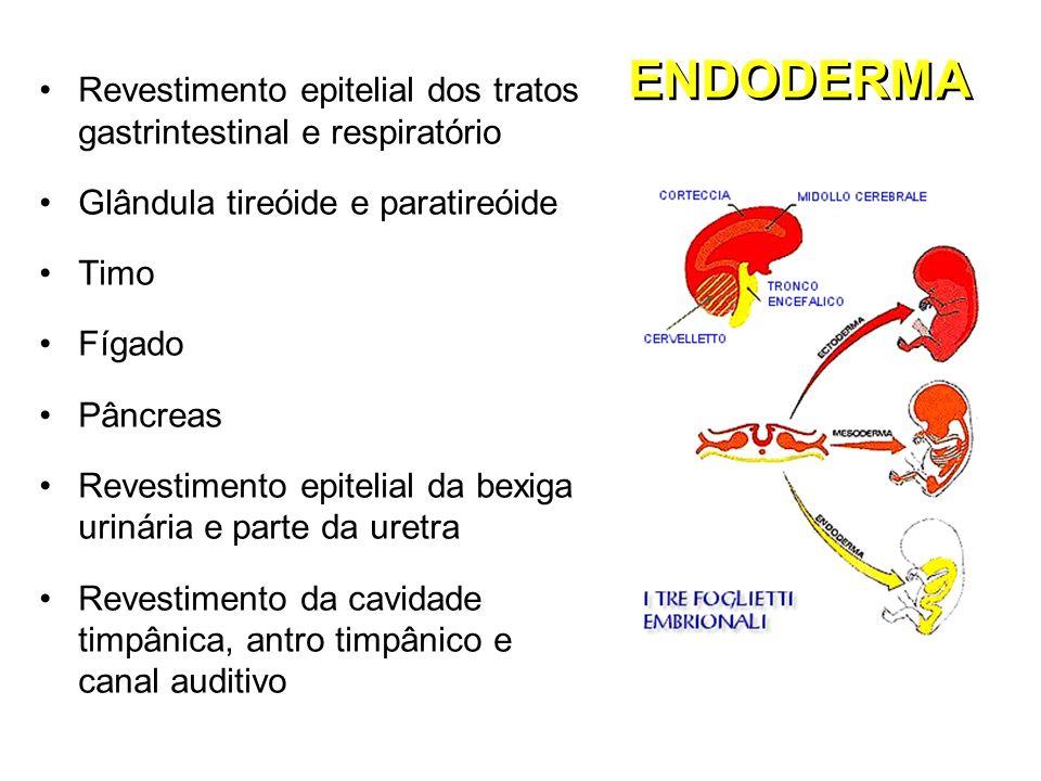 ENDODERMA Revestimento epitelial dos tratos gastrintestinal e respiratório. Glândula tireóide e paratireóide.