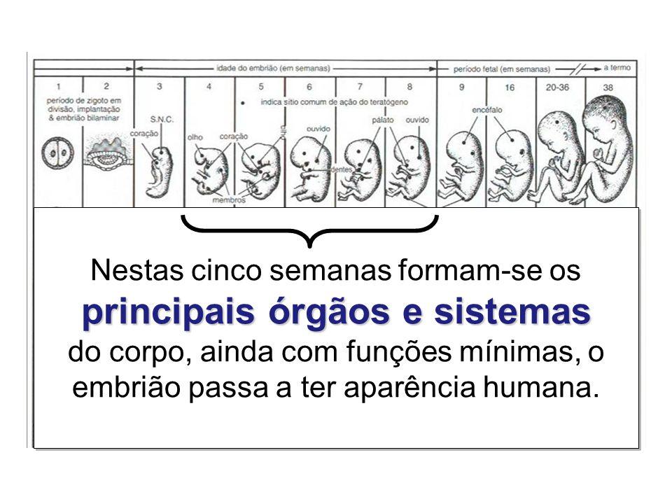 Nestas cinco semanas formam-se os principais órgãos e sistemas do corpo, ainda com funções mínimas, o embrião passa a ter aparência humana.