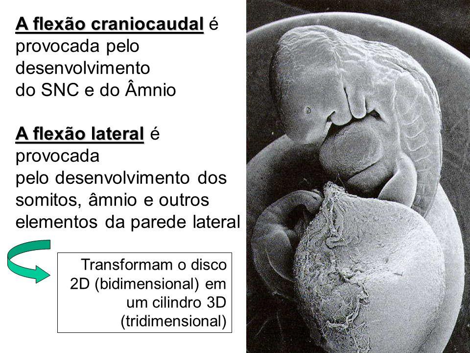 A flexão craniocaudal é provocada pelo desenvolvimento