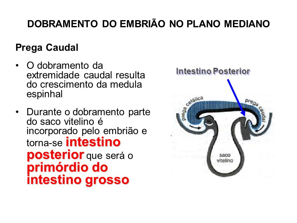 DOBRAMENTO DO EMBRIÃO NO PLANO MEDIANO