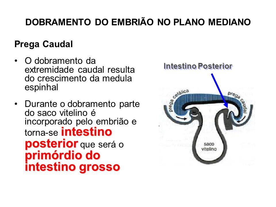DOBRAMENTO DO EMBRIÃO NO PLANO MEDIANO