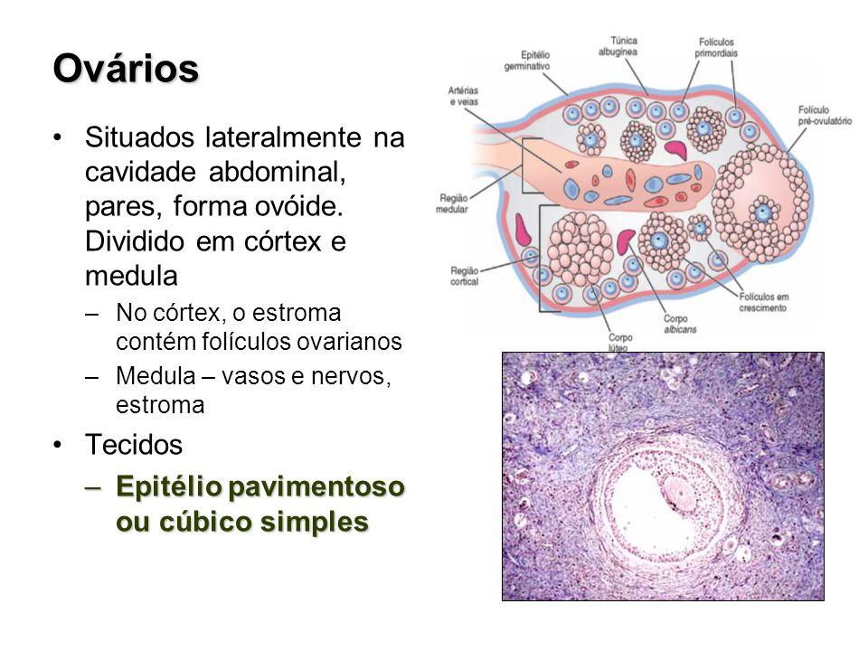 Ovários Situados lateralmente na cavidade abdominal, pares, forma ovóide. Dividido em córtex e medula.
