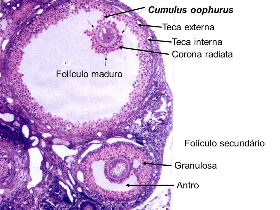 Teca externa Teca interna. Corona radiata. Cumulus oophurus. Granulosa. Antro. Folículo secundário.