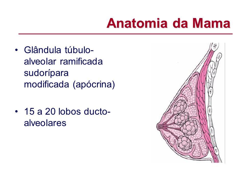 Anatomia da Mama Glândula túbulo-alveolar ramificada sudorípara modificada (apócrina) 15 a 20 lobos ducto-alveolares.