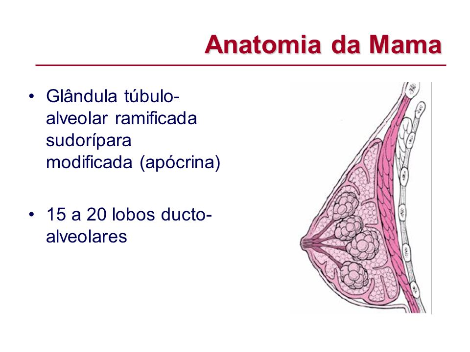 Anatomia da MamaGlândula túbulo-alveolar ramificada sudorípara modificada (apócrina) 15 a 20 lobos ducto-alveolares.