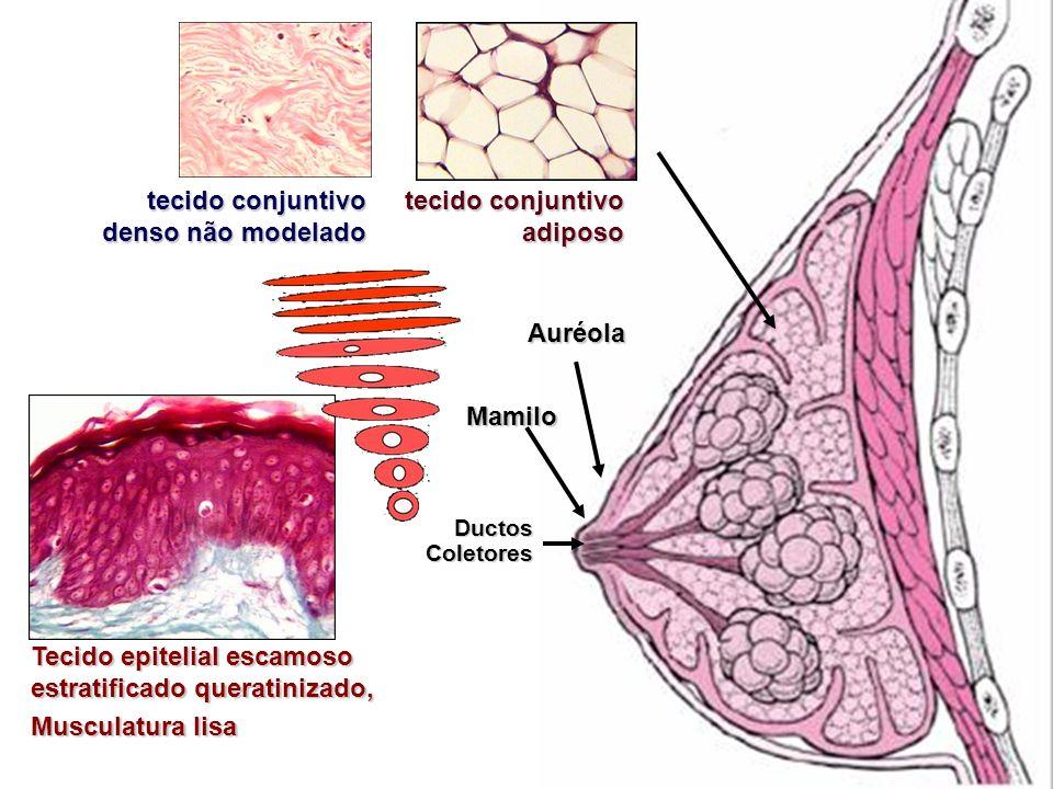 tecido conjuntivo denso não modelado tecido conjuntivo adiposo