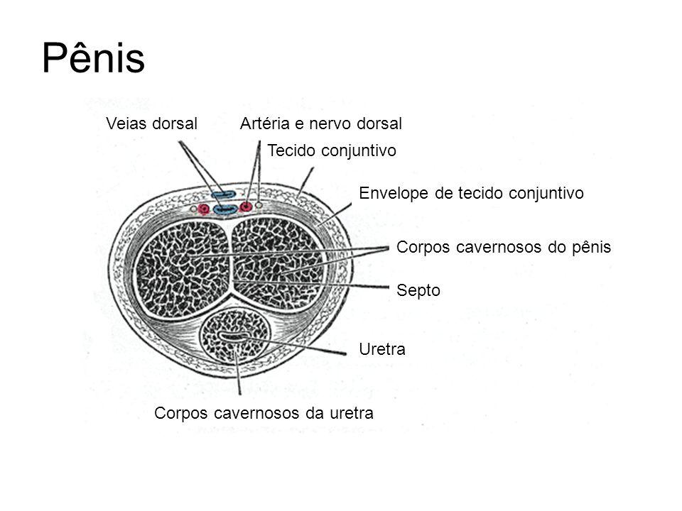 Pênis Corpos cavernosos do pênis Corpos cavernosos da uretra Uretra