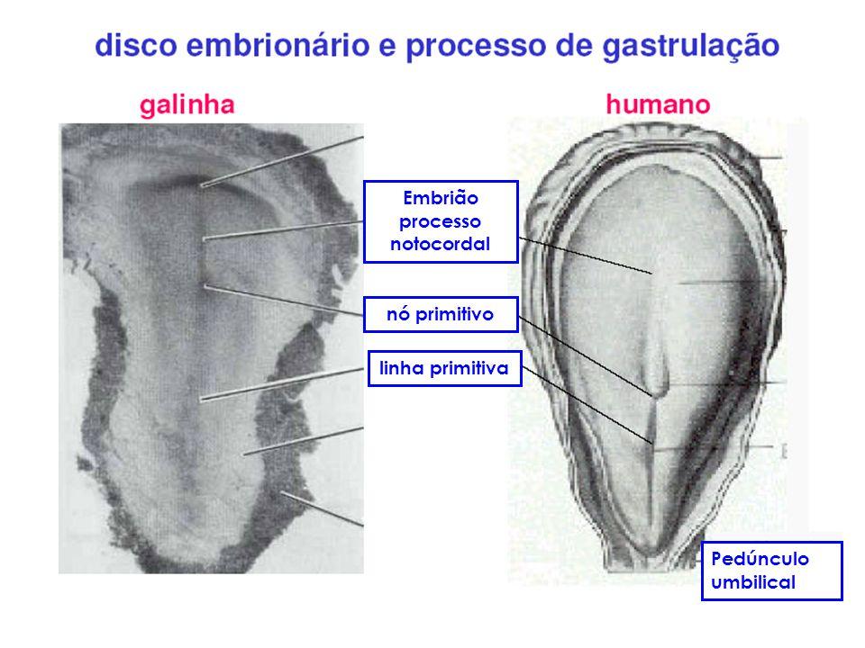 Embrião processo notocordal