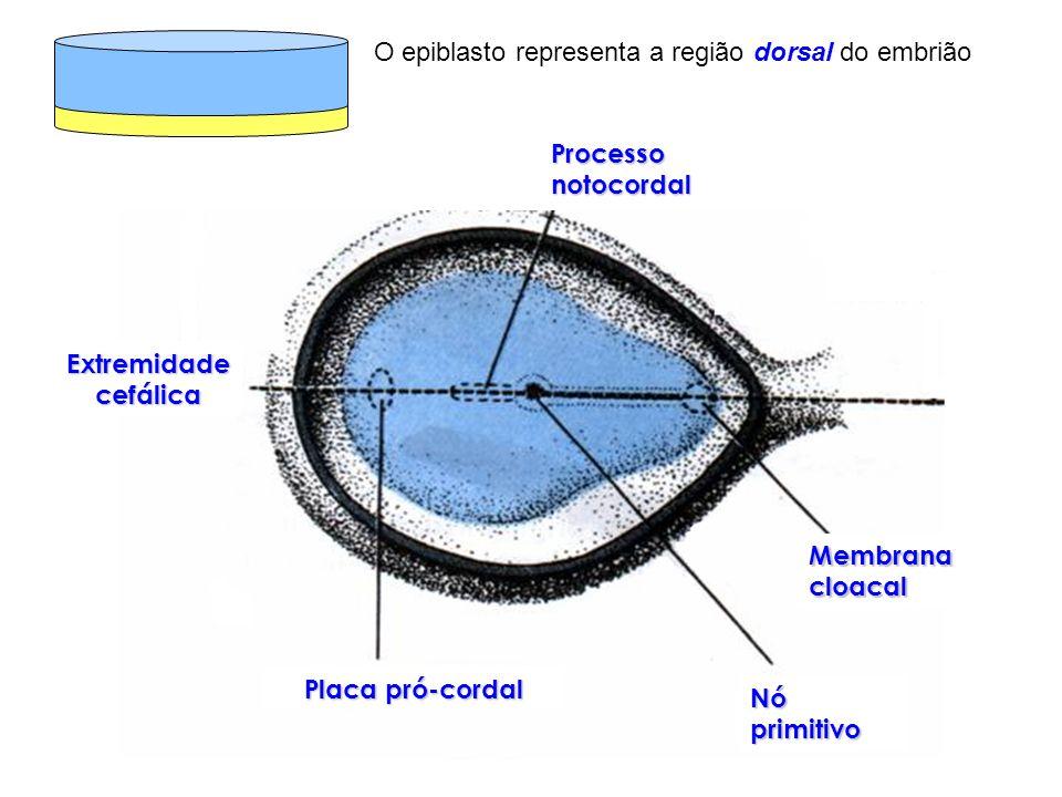 O epiblasto representa a região dorsal do embrião