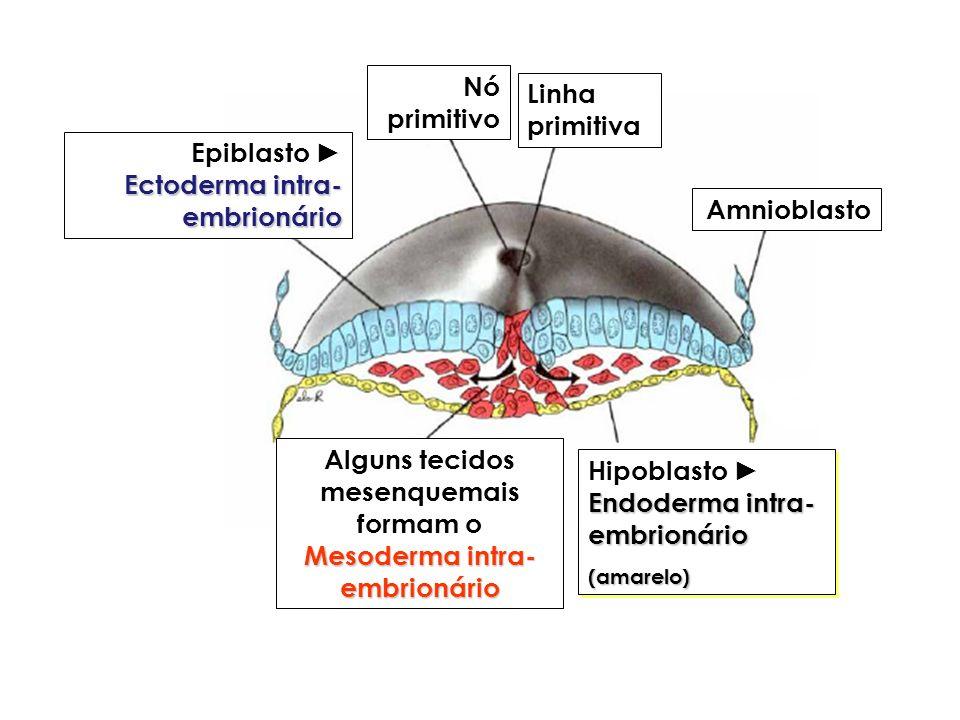 Alguns tecidos mesenquemais formam o Mesoderma intra-embrionário