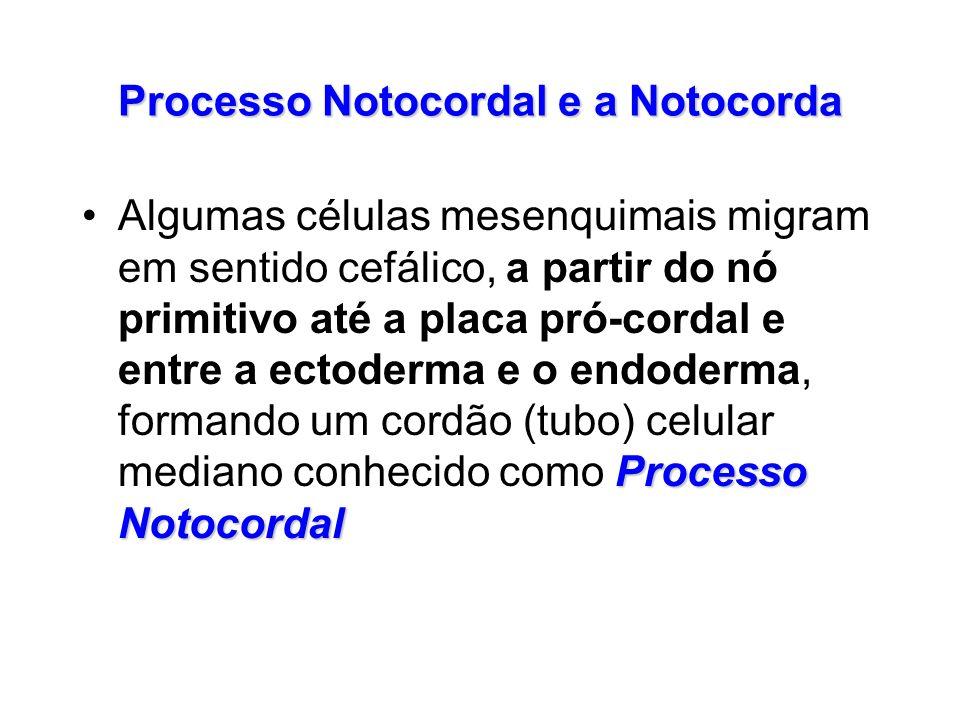 Processo Notocordal e a Notocorda