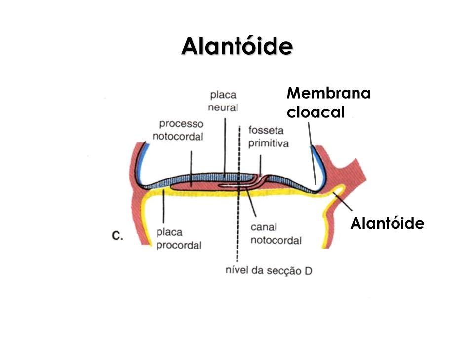Alantóide Membrana cloacal Alantóide