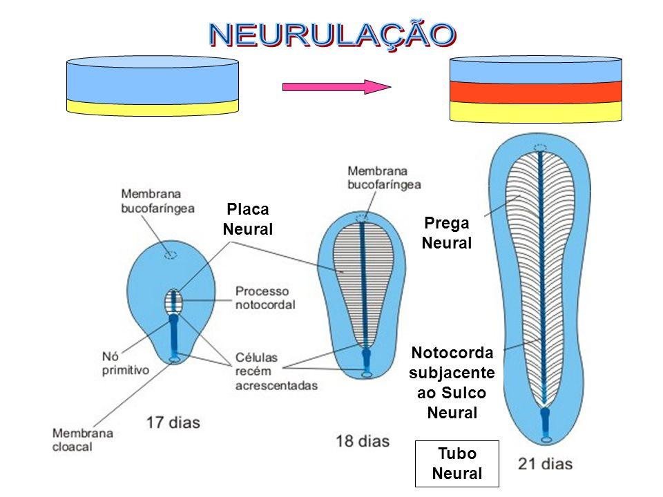 Notocorda subjacente ao Sulco Neural