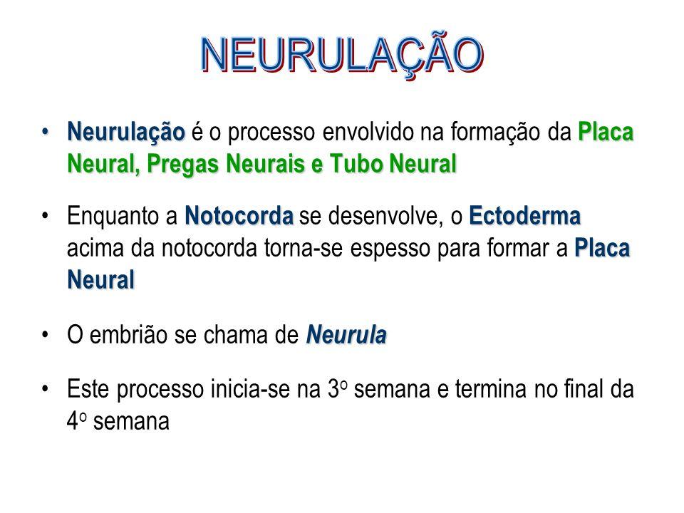 NEURULAÇÃO Neurulação é o processo envolvido na formação da Placa Neural, Pregas Neurais e Tubo Neural.
