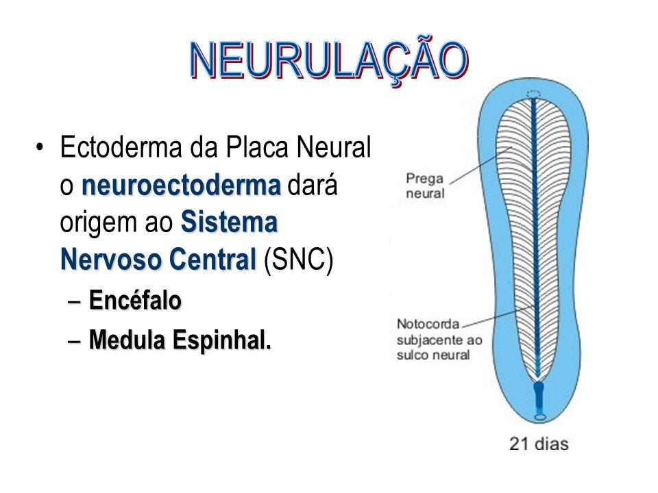 NEURULAÇÃO Ectoderma da Placa Neural o neuroectoderma dará origem ao Sistema Nervoso Central (SNC) Encéfalo.