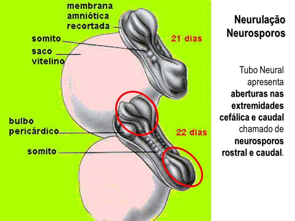 Neurulação Neurosporos