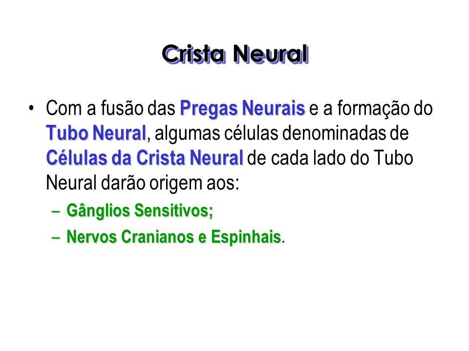 Crista Neural