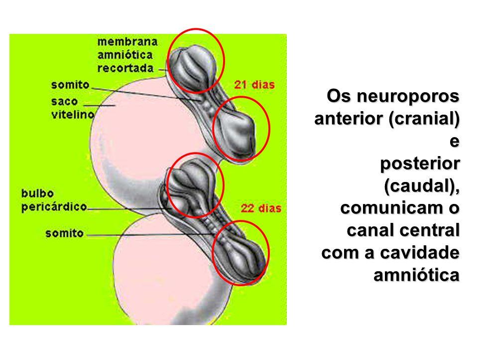 Os neuroporos anterior (cranial) e